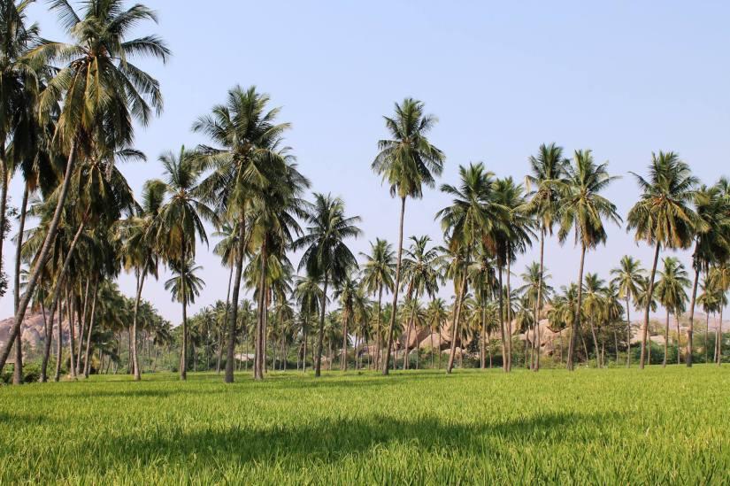 Sudden pretty green paddy fields, north of the Tungabhadra (Anegundi)